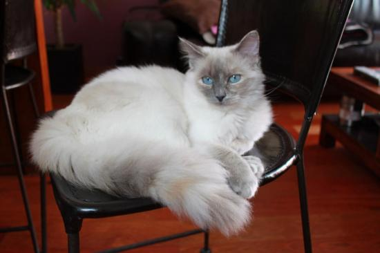 naissance 2 chaton 21/06 UN CREAM POINT ET UN BLUE POINT