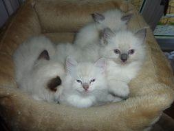 4 chatons Vendus
