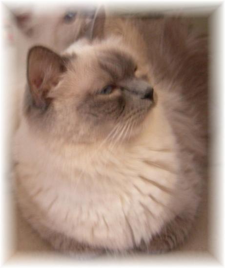 darling : 2 chatons blue dispo nés 9 juin VENDUS